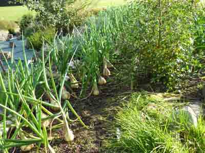 Onions at the SEER Centre, Perthshire, Scotland