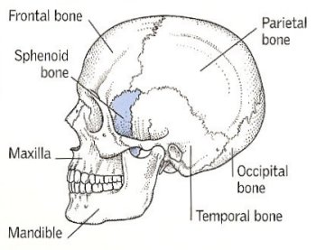 sphenoid_bone, Human Body
