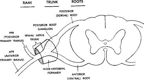 Spinalnerveg