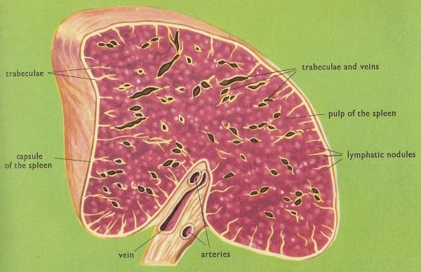 spleen, cross-section