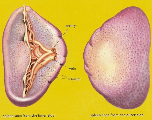 spleen, side views