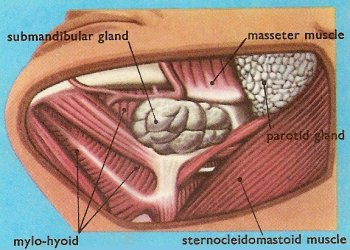 submandibular gland