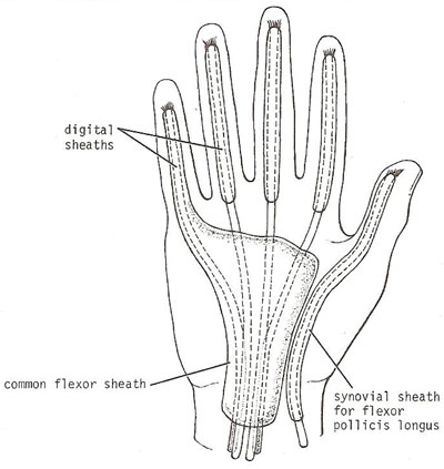 Synovial sheaths around the long tendons of                the fingers