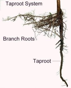 tap-root system