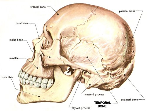 temporal_bone, Human Body