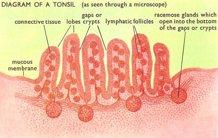 Funky Anatomy Of Tonsil Image Collection - Anatomy And Physiology ...