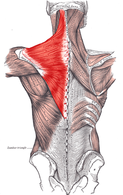 trapezius from Gray's