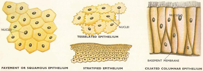 types of epithelium