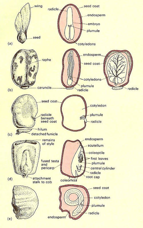 types of seed