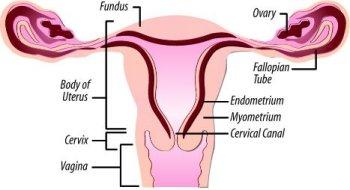 Uterus womb uterus ccuart Images