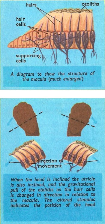 utricle and macula