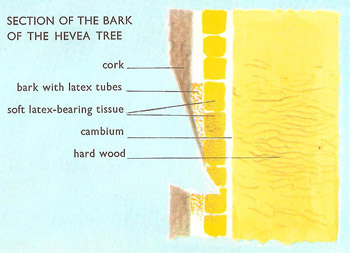 Section of the bark of Hevea tree