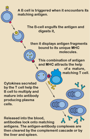 The action of B- and T-cells