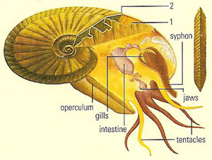 labeled diagram of an ammonite