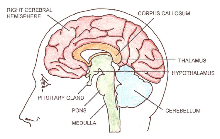brain mid-sagittal view