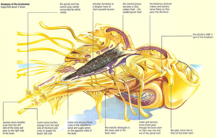 anatomy of the brainstem