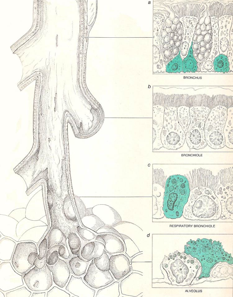 Cells of different kinds comprise the  lining of various parts of the lung
