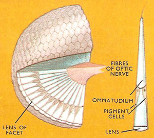 cutaway of a compound eye