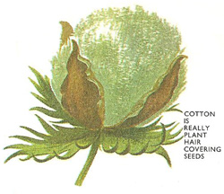 cotton plant head