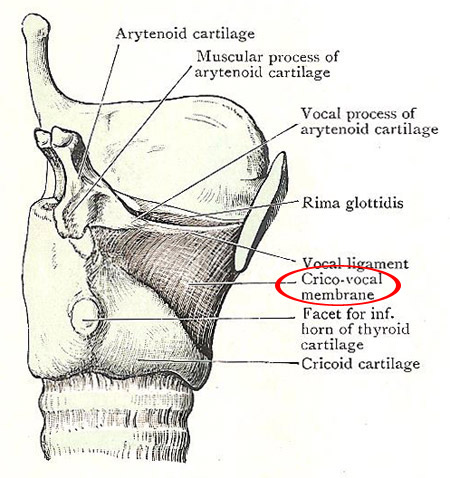 Larynx, side view, showing cricovocal membrane