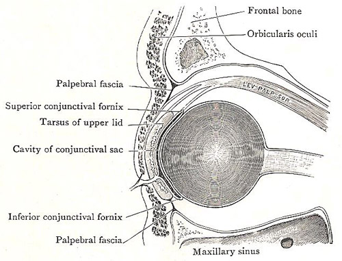 structure of the eyelid