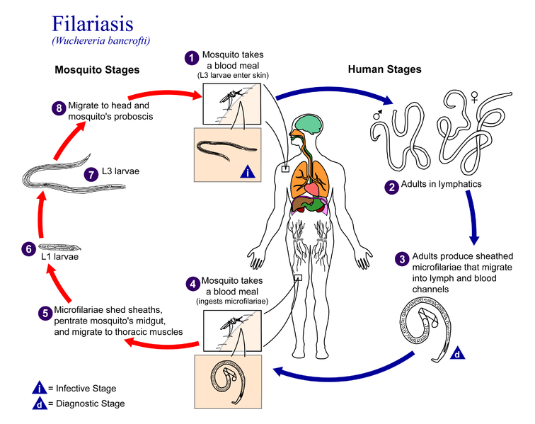 cycle of filariasis