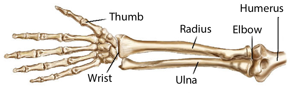 radius (of the arm)