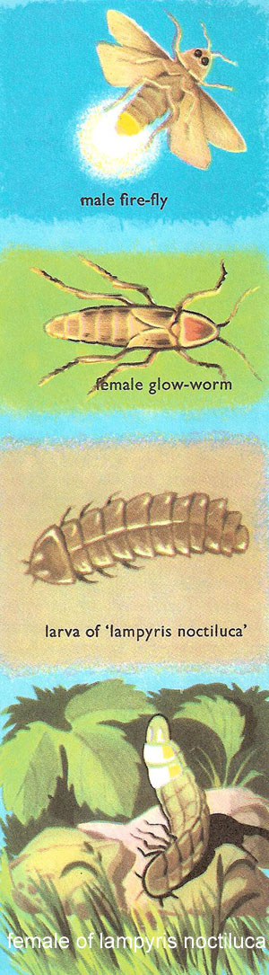 glow-worms and fire-flies