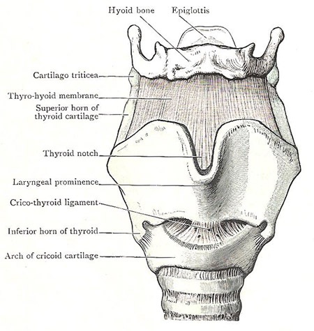 Anterior aspect of cartilages and ligaments of larynx
