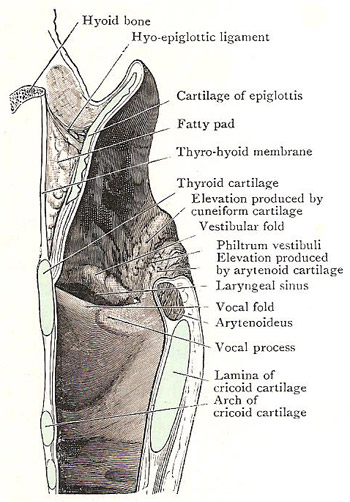 Median section through larynx, to show side wall of its right half