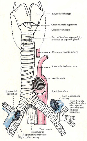 larynx, trachea, and bronchi