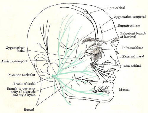 nerves of the face