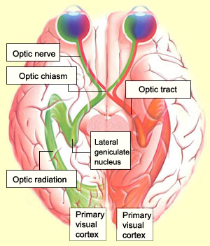 section through the brain showing optic chiasm