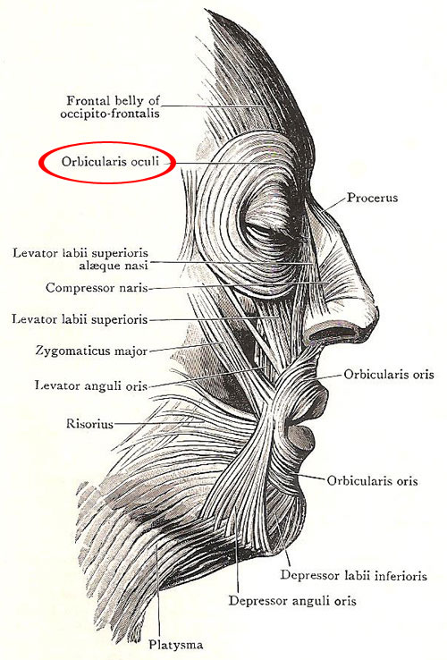 orbicularis_oculi, Human body