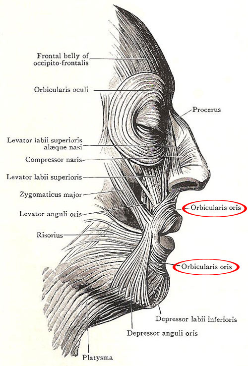 Muscles of the face, including the orbicularis orisk