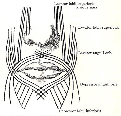 Diagram of the orbicularis oris