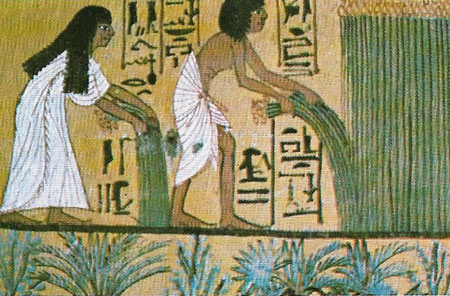 collecting papyrus reed