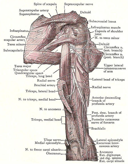 Dissection of back of shoulder and upper arm. The lateral head of the triceps has been divided and turned aside to expose the spiral groove on the humerus for the radial nerve