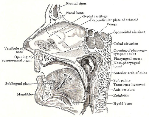 sagittal section through nose, mouth, and pharynx
