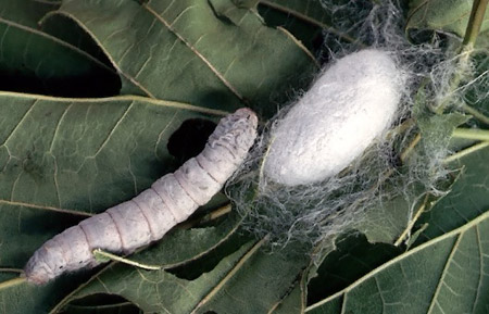 silkworm larva and coccon