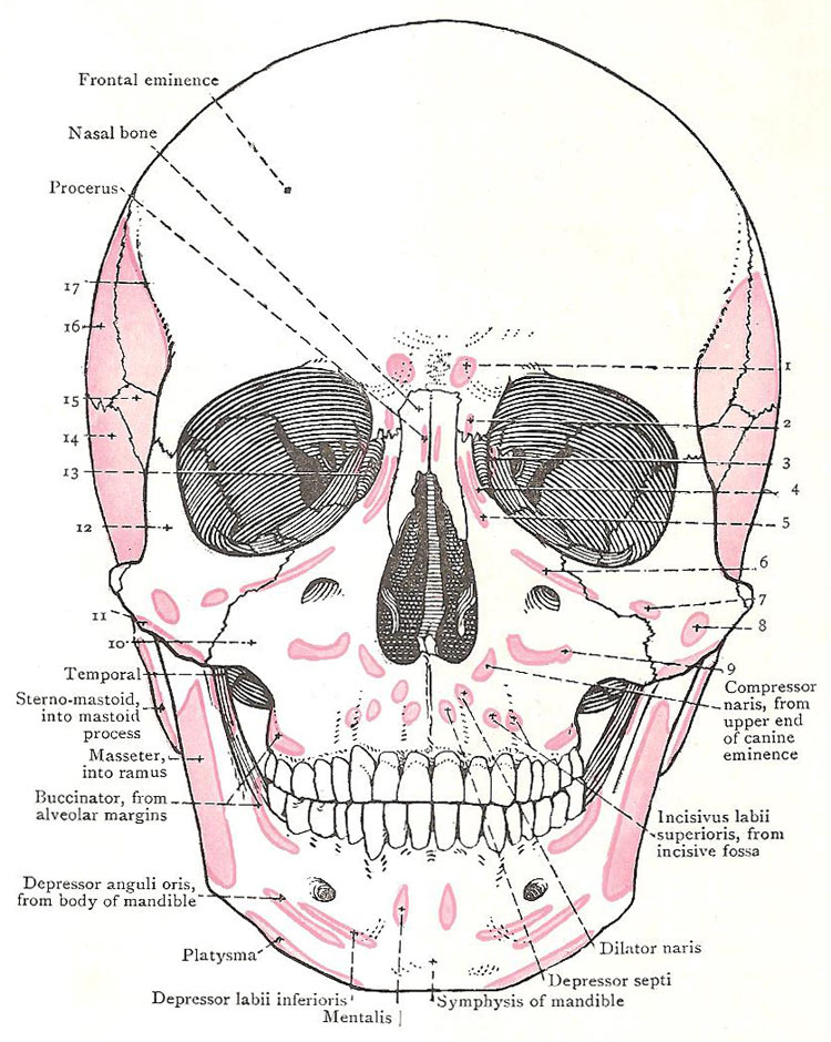 Skull Muscular Attachments