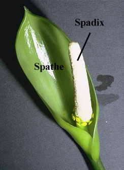 spadix and spathe
