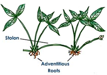 strawberry plant showing stolon and adventitious roots