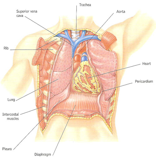 Heart Location In Chest Cavity Ribs