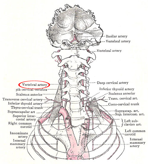 Vertebral artery shown in relation to subclavian arteries and their branches
