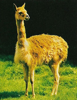 The dense coat of the vicuna (Lama vicugna) protects it from the cold of the high Andes.
