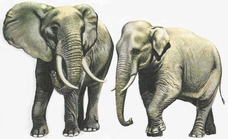 African and Indian elephant