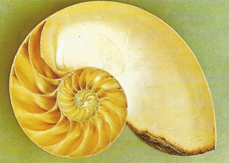 logarithmic spiral of a Nautilus shell