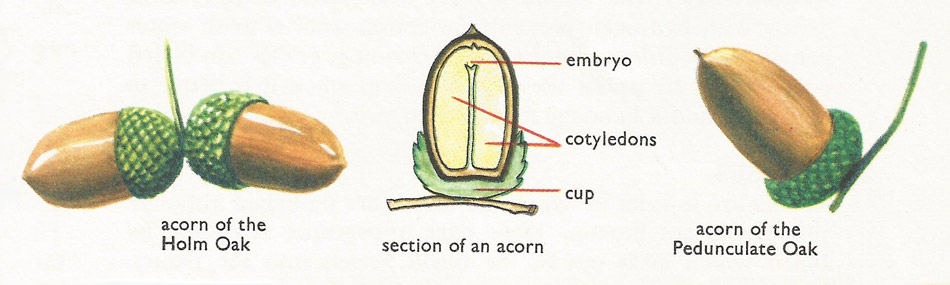 types of acorn and section of an acorn
