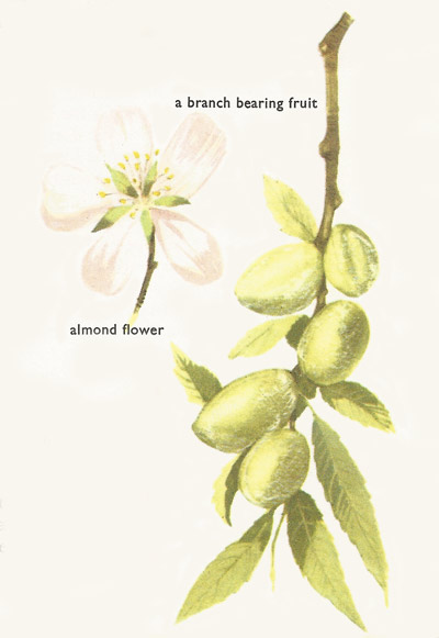 almond flower and fruit
